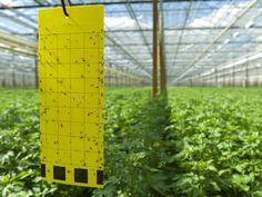 Trauermücken: 6 Fragen zum Pflanzenschädling