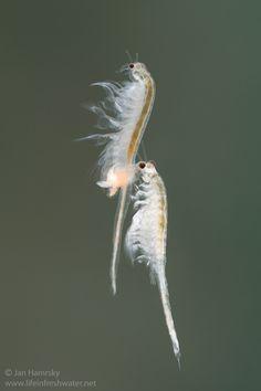 Brine shrimps (Artemia salina) mating | by Jan Hamrsky