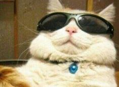 cats with glasses cats with glasses cats with glasses Cute Funny Animals, Funny Animal Pictures, Cute Baby Animals, Funny Cats, Meme Chat, Gatos Cool, Cat Icon, Cat Aesthetic, Cute Memes