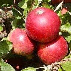 Ingridmarie æble. Plukkes i oktober. kan gemmes.