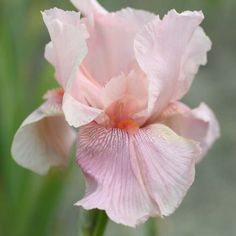 Iris germanica Blushing Pink