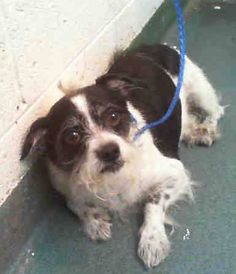 BENNIGANS (A1121354)I am a neutered male black and white Terrier. The shelter staff think I am about 6 years old and I weigh 15 pounds. I was found as a stray and I may be available for adoption on 03/12/2015. — Miami Dade County Animal Services. https://www.facebook.com/urgentdogsofmiami/photos/pb.191859757515102.-2207520000.1425686589./939598002741270/?type=3&theater