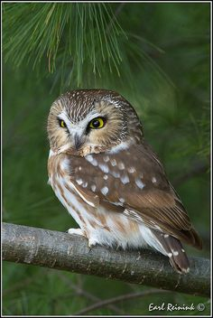 Saw-whet Owl par Earl Reinink Beautiful Owl, Animals Beautiful, Cute Animals, Owl Photos, Owl Pictures, Saw Whet Owl, Owl Bird, Baby Owls, Cute Owl
