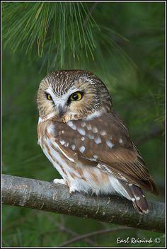 Saw-whet Owl on branch   par Earl Reinink