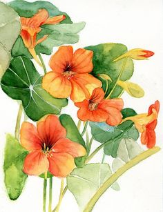 Picture if nasturtium (A South American trailing plant with round leaves and…