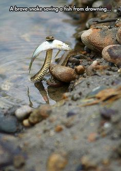 A Hero: this Snake Saves a Fish from Drowning Un serpent sauve un poisson de la noyade Les Reptiles, Reptiles And Amphibians, Animals And Pets, Funny Animals, Cute Animals, Wild Animals, Nature Animals, Baby Animals, Beautiful Creatures