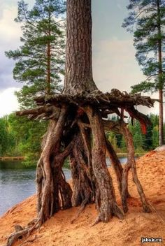 Tree with exposed roots due to erosion. Tree roots can put on bark and become trunk-like, but trunks can't become roots and withstand moisture.