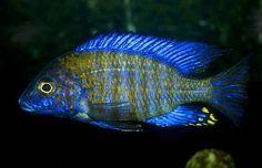 ethelwynnae peacock cichlid