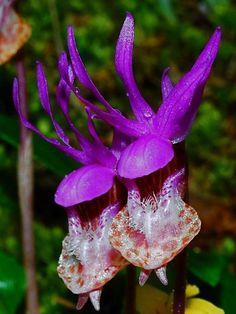 Orchidée ' Calypso bulbeux ' ... ( Photo de : Virágvarázs )