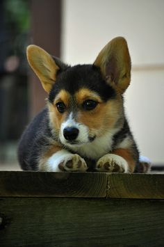 Flynn Rider, a Pembroke Welsh Corgi, as a puppy | Flickr - Photo Sharing! by Larry Miller