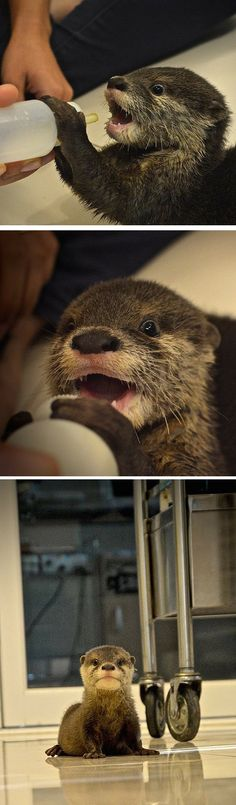 It's clear there's only one thing on this little otter's mind...food!