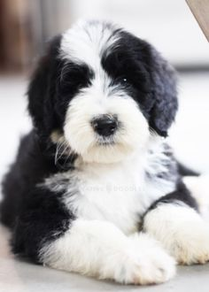 Baby Puppies, Baby Dogs, Dogs And Puppies, I Love Dogs, Cute Dogs, Loki, Sheepadoodle Puppy, Goldendoodles, Baby Animals