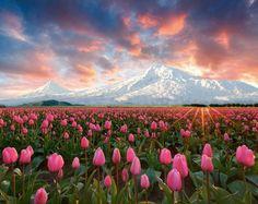 Tulips at foot of Mt. Ararat, in Armenia.