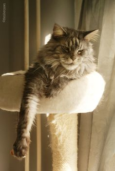 Blake — Maine Coon, black silver classic/blotched tabby