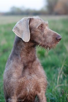 Slovakian Rough-haired Pointer- descendent of the Weimaraner, German wirehaired pointer and a few more in there Greenland Dog, Wirehaired Vizsla, Hunter Dog, Dog Breeds Pictures, Rare Dogs, Unique Dog Breeds, Pointer Puppies, Dog Search, Different Dogs