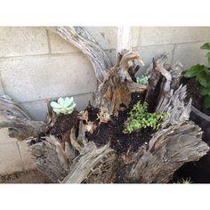 Use an old tree stump as a succulent garden!