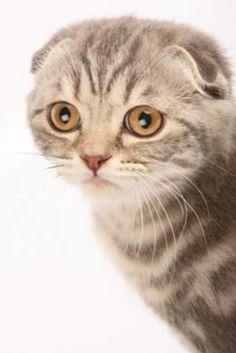Scottish Fold/「フクロウ」のようだと言われる顔立ちの猫|猫ためのアイテムたくさん『にゃんグッズライフ-Cat goods Life-』