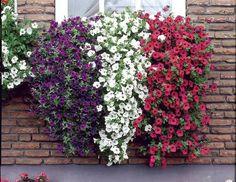petunias tricolors