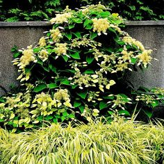 """False Hydrangea Vine, schizophragma hydrangeoides, zones 5-9, climbs 40', showier flowers with large white bracs that look like petals,var """"Moonlight"""" has dark green leaves with silver overlay"""