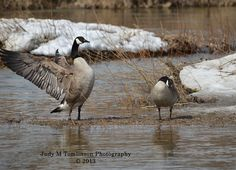 Canada Goose by Judy M Tomlinson Photography
