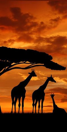 Giraffe silhouettes and sunset, stunning photo Beautiful Creatures, Animals Beautiful, Majestic Animals, Animals And Pets, Cute Animals, Wild Animals, Baby Animals, Tier Fotos, All Gods Creatures