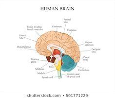 Human brain anatomy structure.