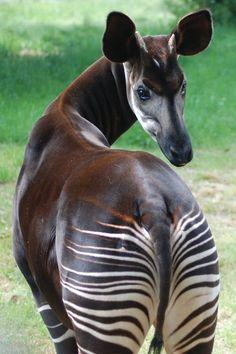 Rare Animals, Unique Animals, Animals Beautiful, Animals And Pets, Tropical Animals, Okapi, Interesting Animals, Mundo Animal, Zebras