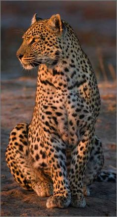 Affordable accommodation Kruger Park in rondawels at Sabi Sand Reserve Big Animals, Majestic Animals, Animals Of The World, Beautiful Cats, Animals Beautiful, Wild Animal Wallpaper, Amur Leopard, My Animal, Big Cats