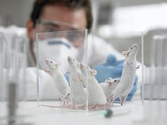 Scientists discover elixir of youth — for mice — and begin tests on humans Compound found in broccoli and cucumber has 'remarkable anti-ageing effects in mice', researcher says