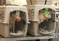 Air travel with dogs...more information on sending them in cargo.