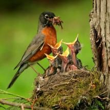 Robin and chicks.  North-American Robin, Feeding Young (photo from public domain); Posted by: Big Bird