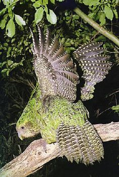 The Kakapo parrot of New Zealand is a unique creature in several ways. Not only is it the world's heaviest parrot,  weighing up to 9 pounds (4 kilograms) but it is the world's only only flightless parrot, as well as the only nocturnal one. Estimated to be less than 150 in the wild.