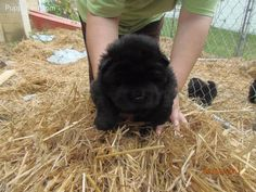 Chow Chow puppy, <3333