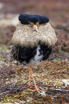 Norway is home to the most regal Ruff, a small bird that looks like a tiny Queen Elizabeth 1.