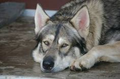 Ochi and sesi Utonagan Dog, Tamaskan Dog, What Dogs, All Dogs, Dogs And Puppies, Northern Inuit Dog, Animals And Pets, Cute Animals, Dire Wolf