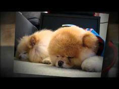Animoto Video   The World's Cutest Dog... Boo!