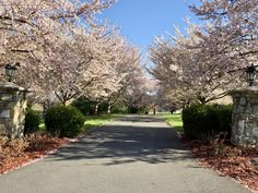 Cherry Blossom lined driveways always make me smile