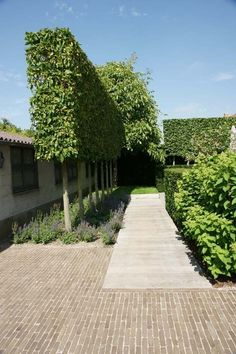 Fascinating Evergreen Pleached Trees for Outdoor Landscaping 1 Garden Hedges, Garden Paving, Back Gardens, Outdoor Gardens, Landscape Architecture, Landscape Design, Clay Pavers, Villa, Contemporary Garden