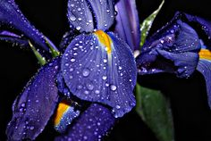 iris by Tim Hauser -  Click on the image to enlarge.