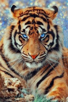 Tattoos Discover National animal of tiger hd wallpaper picture collection - Life Is Won For Flying (WONFY) Tiger Wallpaper Animal Wallpaper Hd Wallpaper Animals And Pets Baby Animals Cute Animals Wild Animals Beautiful Cats Animals Beautiful Tiger Pictures, Cute Animal Pictures, Nature Animals, Animals And Pets, Wild Animals, Jungle Animals, Beautiful Cats, Animals Beautiful, Beautiful Creatures