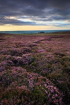 Scotland - I want to go back when the heather is in bloom!