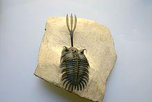 Trilobite - Wikipedia, the free encyclopedia