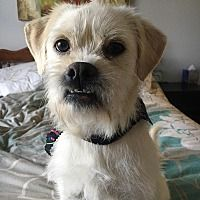 Manchester New Hampshire Brussels Griffon Meet Carl A For