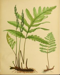 Beautiful ferns from original water-color drawings after nature /. Boston :D. Lothrop and Co.,1882, [c1881].. biodiversitylibrary.org/page/48314886