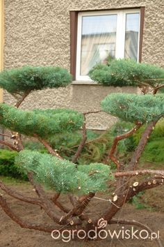 Topiary Garden, Garden Art, Cloud Pruning, Box Hedging, Backyard, Patio, Trees And Shrubs, Flower Beds, Hedges