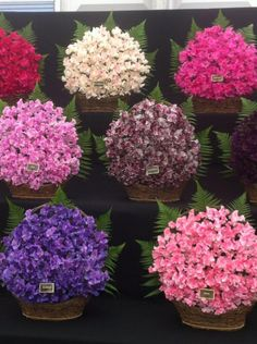 Which? #Gardening at the RHS flower show. Sweet peas! http://www.which.co.uk/home-and-garden/garden/