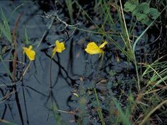 Yes, you can find carnivorous plants wild in KY. Utricularia inflata (Swollen bladderwort)