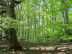 Danish Beech forest, Mons Klint - Denmark by ClairePearse, via Flickr  URL : http://amzn.to/2nuvkL8 Discount Code : DNZ5275C