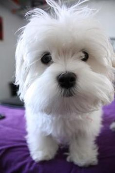 Look at that little muppet face! #maltese