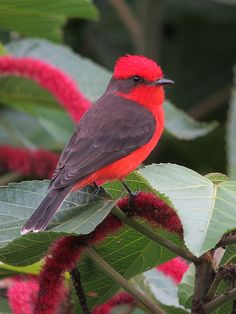 Vermilion Flycatcher (Pyrocephalus rubinus)     This spectacular and distinctive member of the tyrant flycatcher family inhabits riparian areas and scrub in the southwestern United States and southward.    by felixú